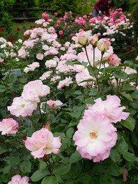 バラの小径 ローズウオーク