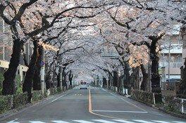 中央通りの桜