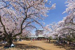 生田緑地の桜