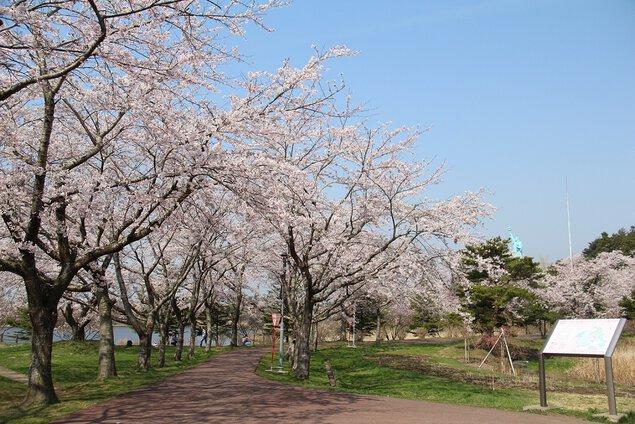 いちょう公園の桜