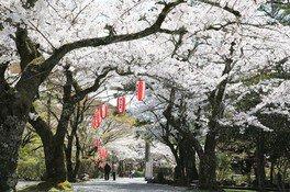 大寧寺の桜