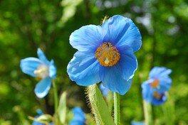 六甲高山植物園 特別展「秘境の花 ヒマラヤの青いケシ」