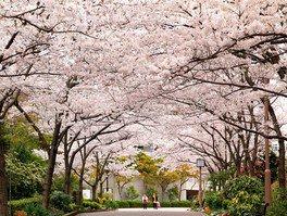 神戸総合運動公園の桜