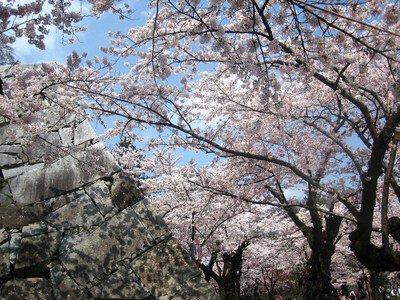 盛岡城跡公園(岩手公園)の桜