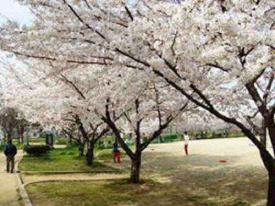 白鷺公園の桜