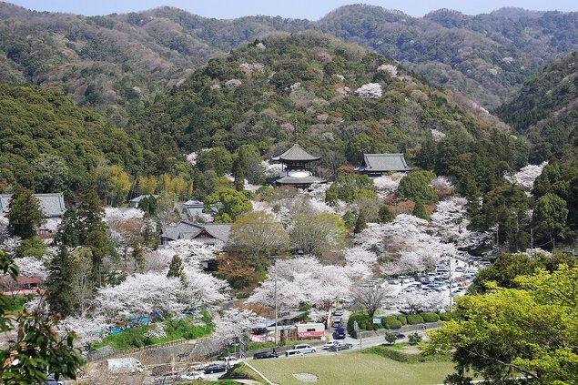 根來寺の桜