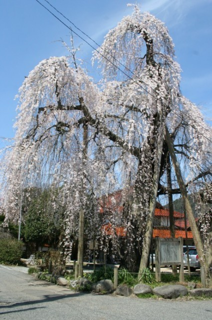 【桜・見ごろ】弓河内の大しだれ桜