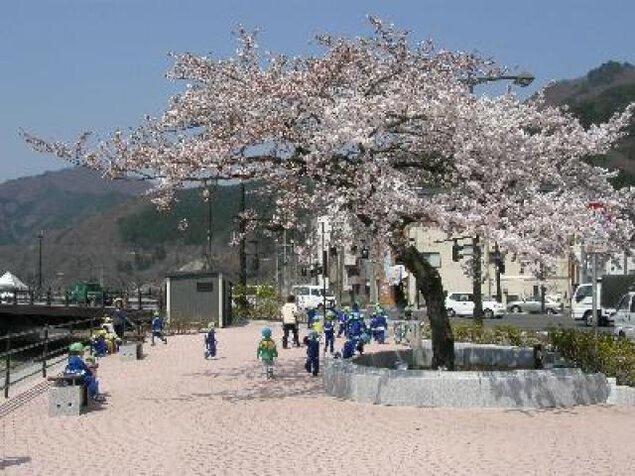 【桜・見ごろ】大渡橋・橋詰広場の一本桜