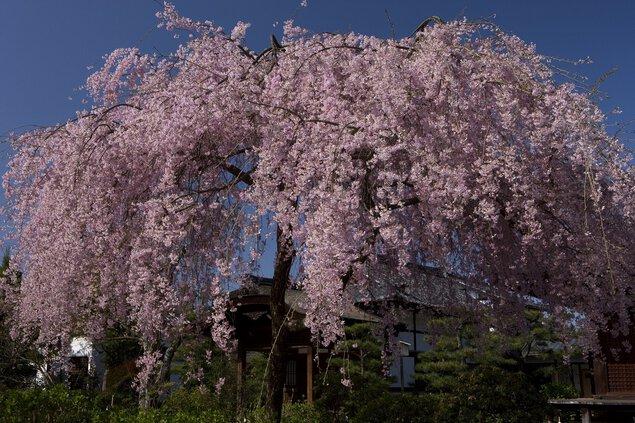法金剛院の桜