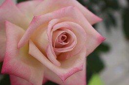 茨城県植物園 春のバラ展