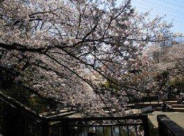 【一部施設利用中止】岸根公園の桜