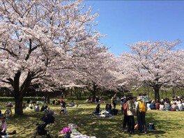 青葉の森公園の桜