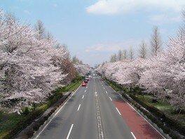 国立市大学通り・さくら通りの桜