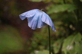 【花・見ごろ】上林森林公園 ヒマラヤの青いケシ
