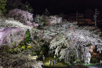 【参拝休止】光前寺のしだれ桜