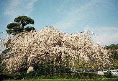 岡山いこいの村周辺の桜