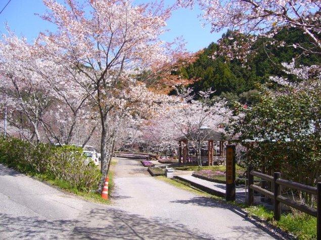【桜・見ごろ】平山親水公園