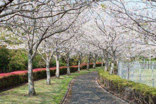 【桜・見ごろ】瀬戸公園