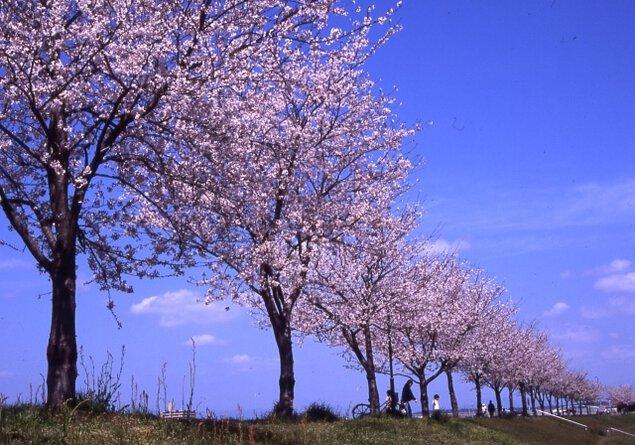 【桜・見ごろ】大淀川市民緑地(桜堤)