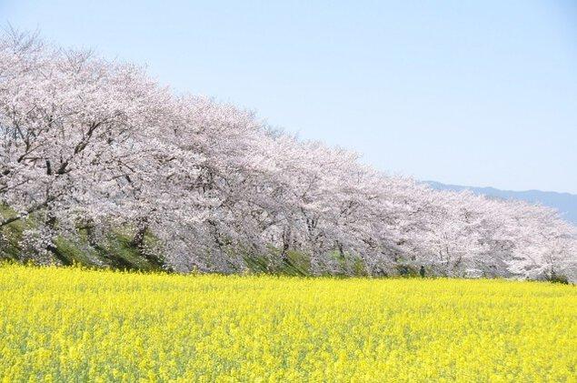 【桜・見ごろ】藤原宮跡
