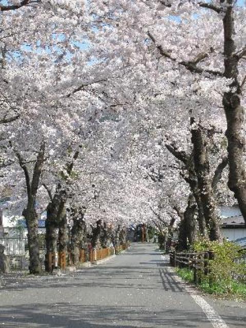 【桜・見ごろ】唐丹町本郷桜並木
