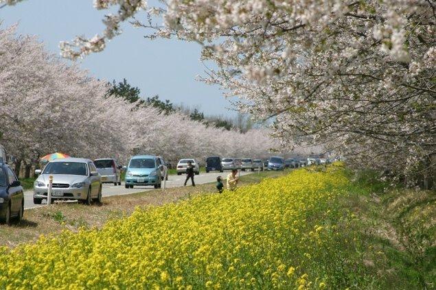 桜と菜の花まつり<中止となりました>