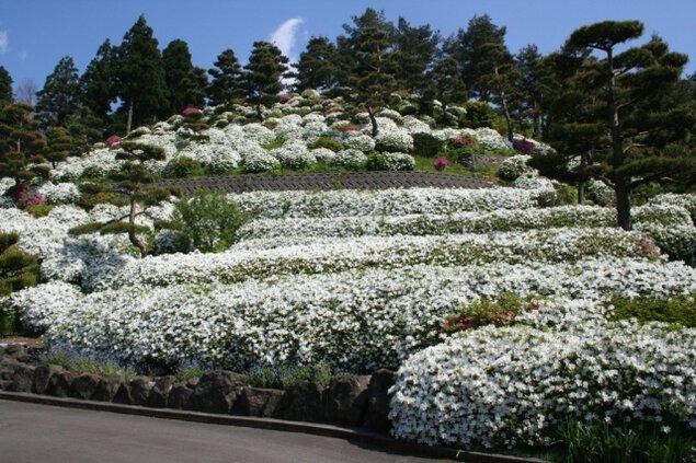 【花・見ごろ】月華山かねこつつじ園