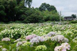 【あじさい・見ごろ】赤城山南麓 環境システム荻窪公園アジサイの丘