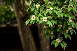 【花・見ごろ】樹齢230年の沙羅の花