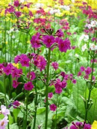 【花・見ごろ】クリンソウの花畑