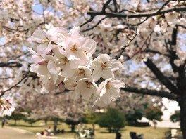 久宝寺緑地の桜