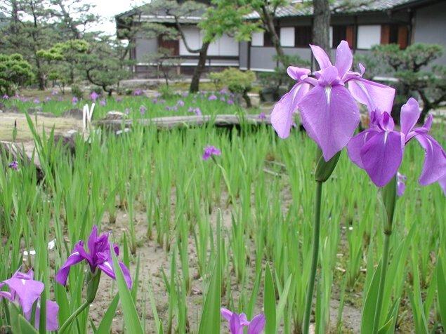 【花・見ごろ】養翠園のカキツバタ