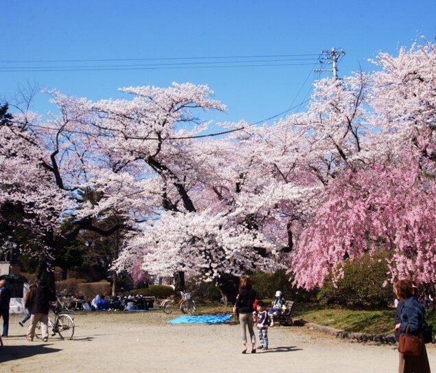 【桜・見ごろ】水沢公園