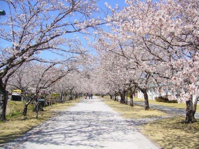 【桜・見ごろ】鏡野公園