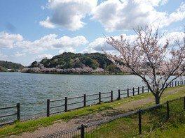 離湖公園の桜