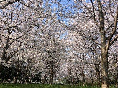 深北緑地の桜