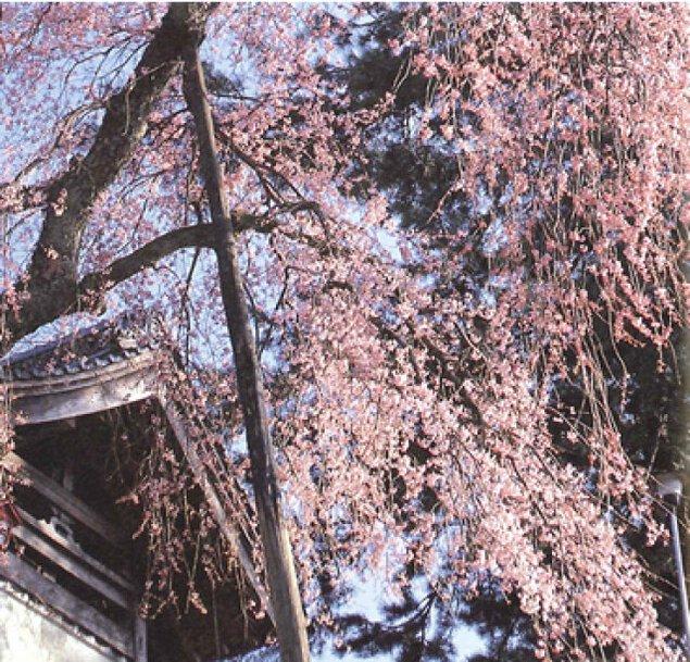 【桜・見ごろ】大善寺のしだれ桜