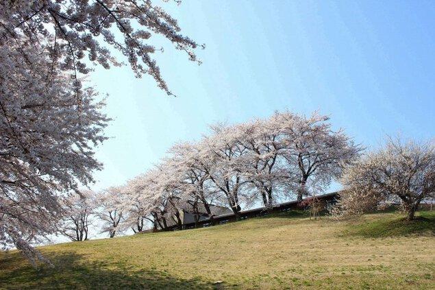 【桜・見ごろ】太陽の村