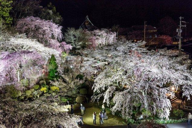 光前寺のしだれ桜ライトアップ<中止となりました>