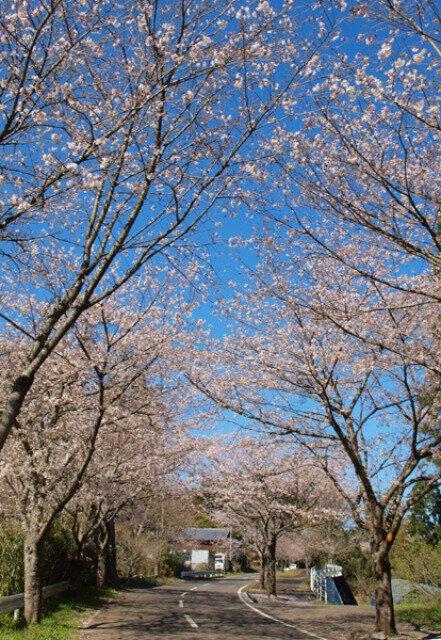 垂水公園桜まつり<中止となりました>