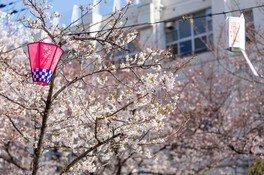 磯路3丁目桜通りの桜