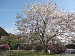 内浦山県民の森の桜
