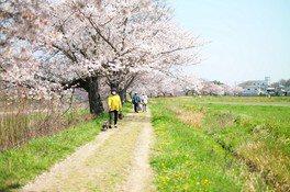 千鳥川桜堤公園の桜