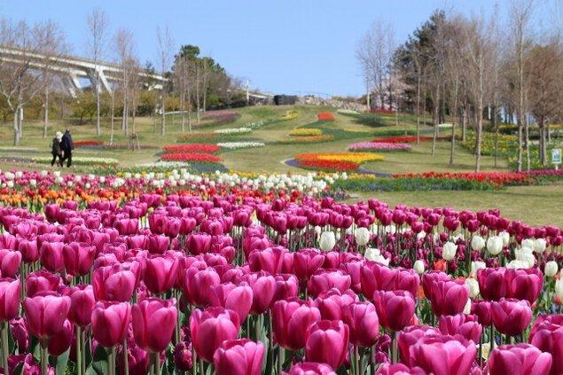 【花・見ごろ】淡路島国営明石海峡公園 チューリップ