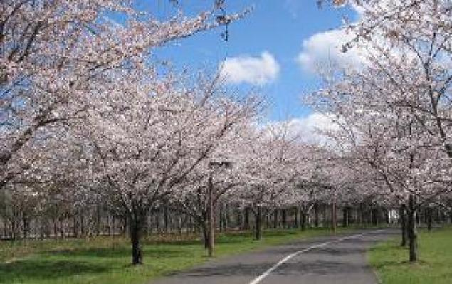 【桜・見ごろ】信州スカイパーク
