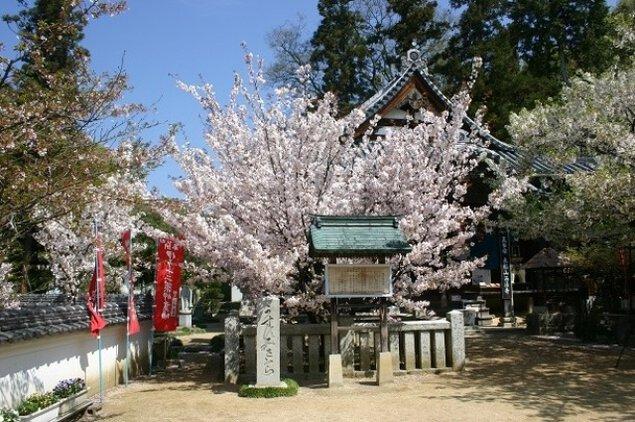 【桜・見ごろ】西法寺の薄墨桜