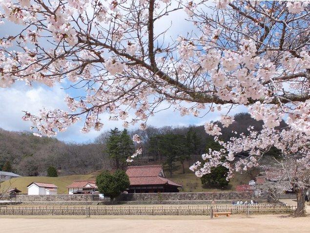 特別史跡旧閑谷学校の桜