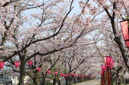 住吉堤防敷の桜