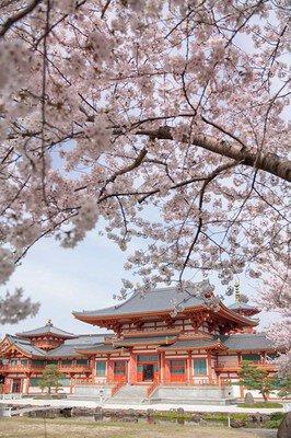 念法眞教 総本山 金剛寺の桜