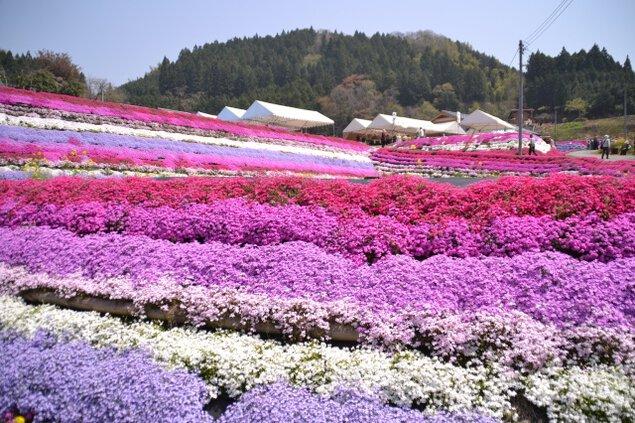 大道理芝桜まつり